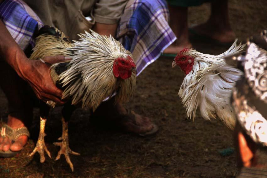 Beberapa Hal Mengenai Ayam Jago Yang Pantas Anda Ketahui