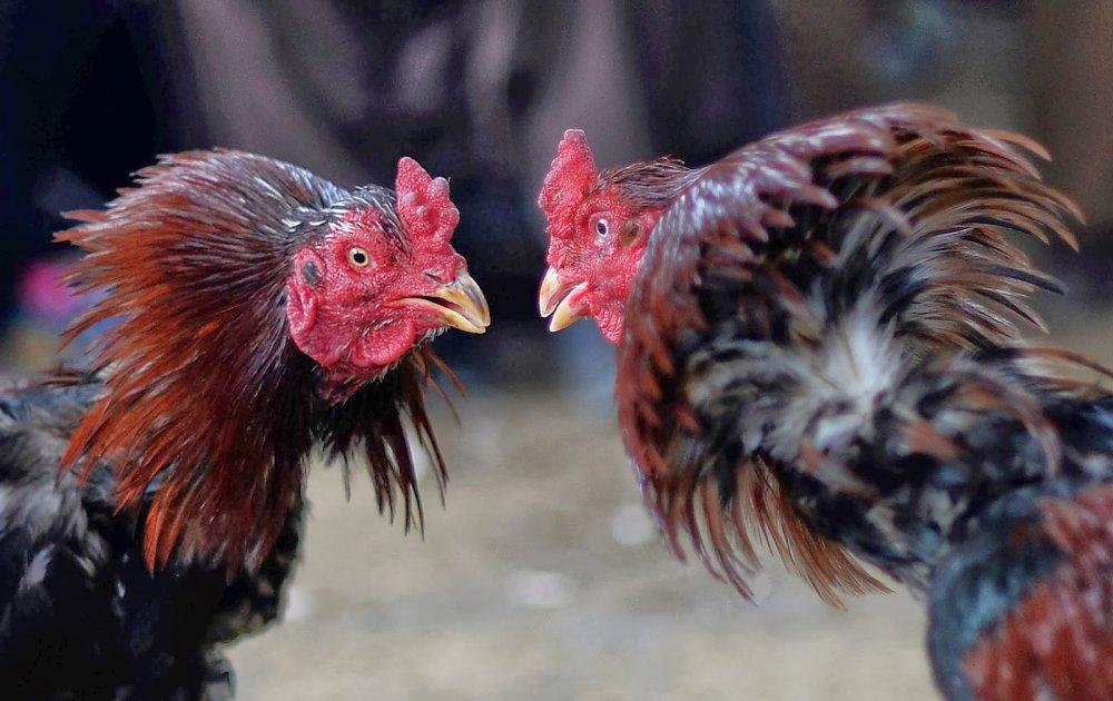 Deposit Judi Sabung Ayam Online Melalui Ovo